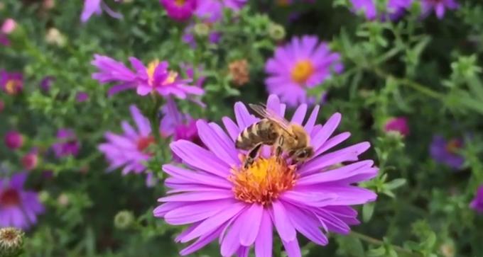 Honey bee collecting nectar.