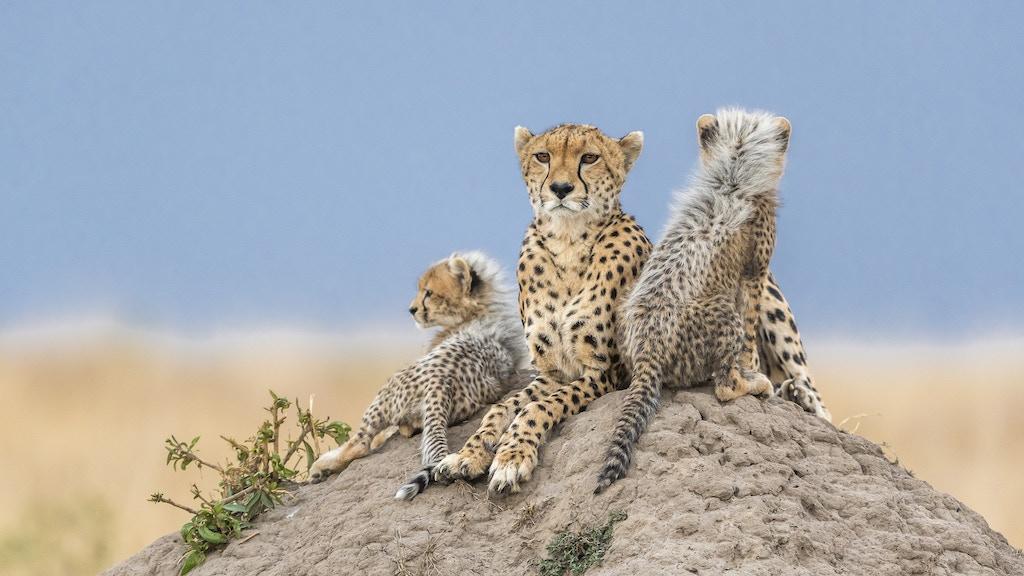 Remembering Cheetahs project video thumbnail