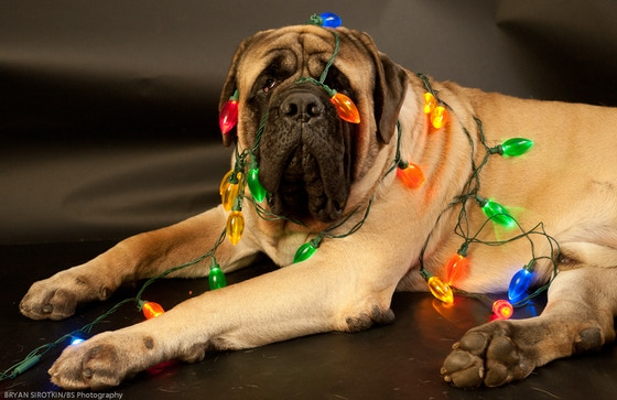 Must Love Drool: Bringing Shooter's fans a year of Mastiff! by Bryan